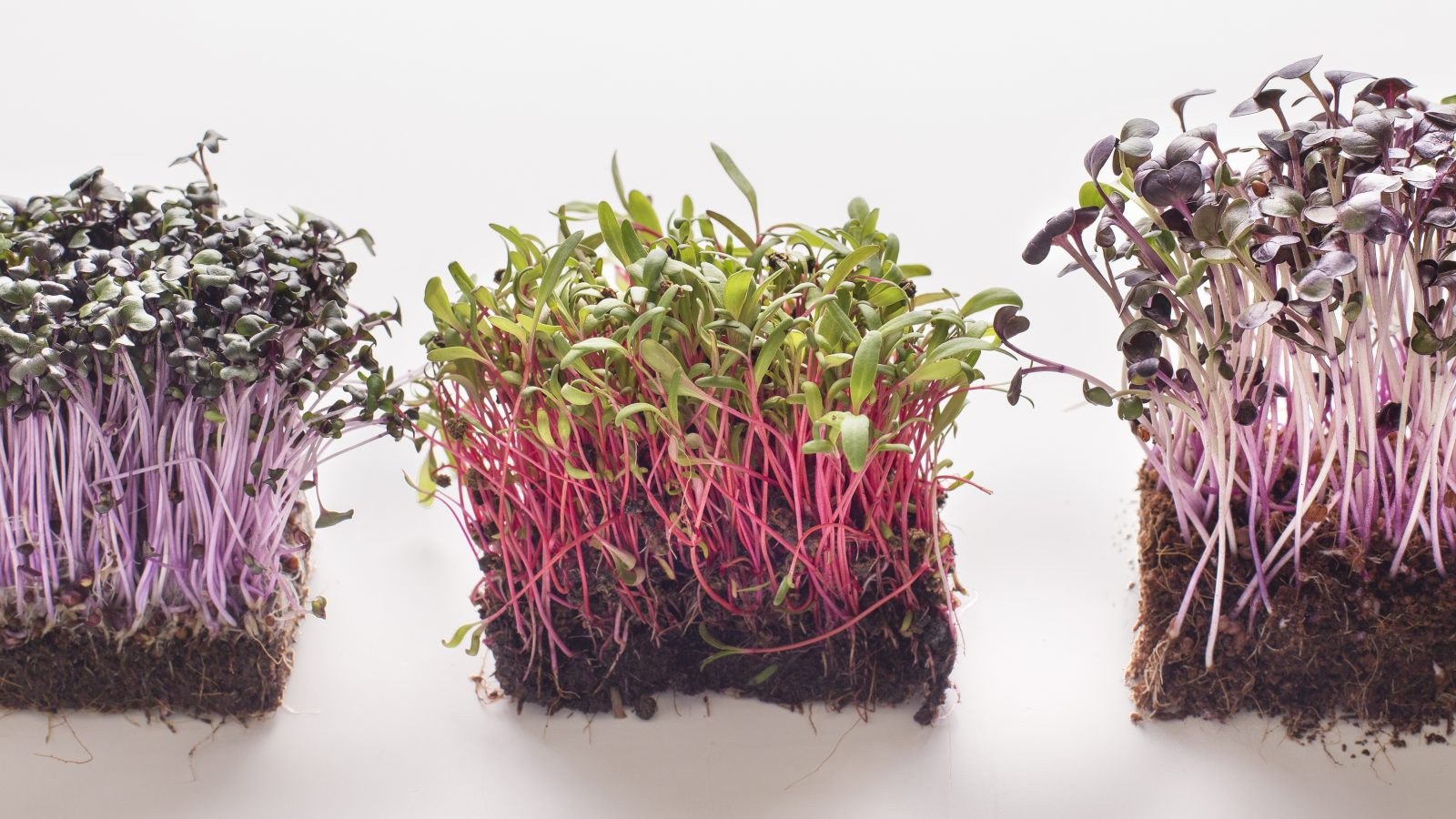 how to grow veggies indoors microgreens and sprouts